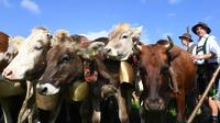 Les cloches des vaches ont rendu fou un couple d'Allemands, qui a fini par saisir la justice.