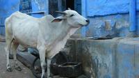 La vache, qui n'a pas de séquelles, sera prochainement rendue à son propriétaire (illustration).
