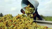 Récolte de raisin à Rivesaltes (Pyrénées-Orientales), le 7 août 2015