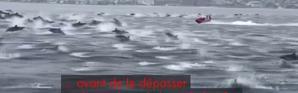 Californie : un splendide spectacle de dauphins