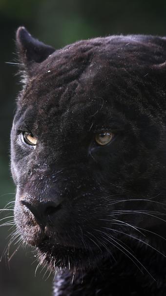 Les léopards noirs sont atteints de mélanisme (illustration) [GUILLAUME SOUVANT / AFP].