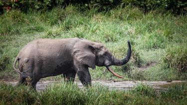 Les éléphants de forêt sont plus en danger que leurs cousins de la savane
