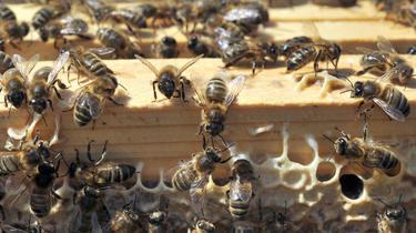 Insecte Hauts-de-Seine : un essaim de milliers d'abeilles s'invite à la terrasse d'un restaurant