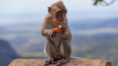 The overweight monkey will go to the health camp to drop extra pounds