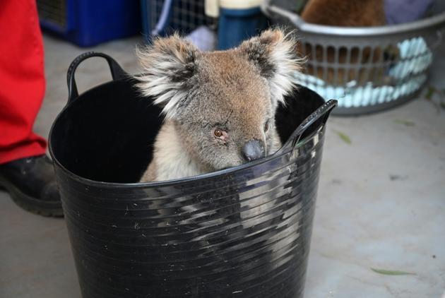 Un koala en attente de soin sur l'île Kangourou, le 14 janvier 2020 [PETER PARKS / AFP]
