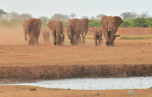 Des éléphants dans le parc national kenyan de Tsavo Est, le 22 août 2018. [SIMON MAINA / AFP/Archives]