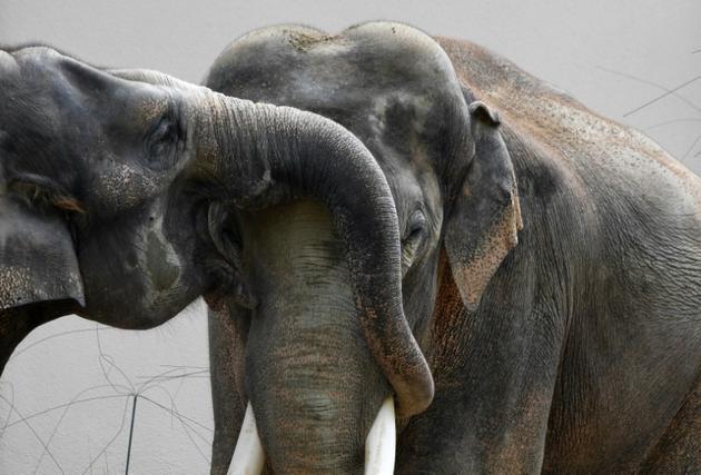 Des éléphants au zoo Hellabrunn de Munich, le 12 juillet 2019 en Allemagne [Christof STACHE / AFP]