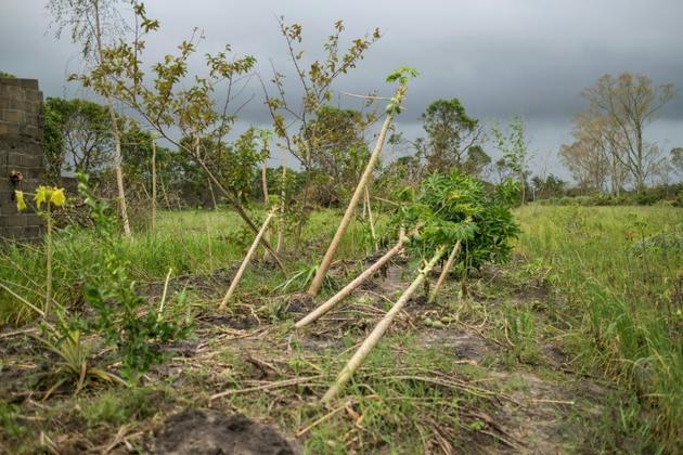 Des papayers victimes du cyclone Idai à Beira, le 23 mars 2019 [WIKUS DE WET / AFP]