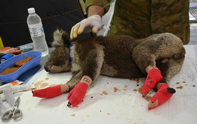 Un kaola dont les pattes blessées ont été bandées dans la clinique vétérinaire de campagne de l'île Kangourou, le 14 janvier 2020 [PETER PARKS / AFP]