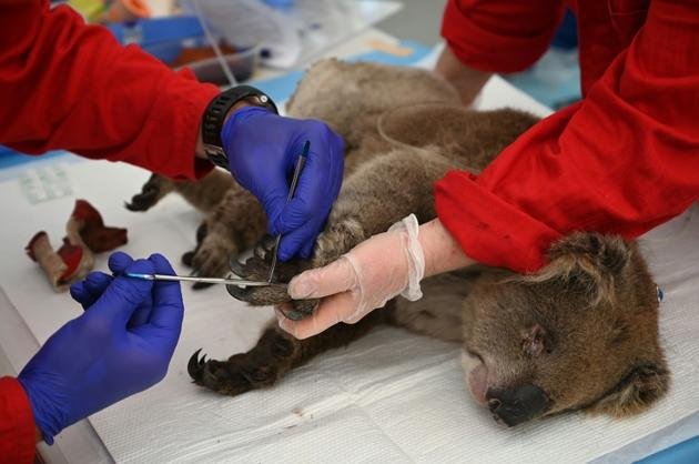 Un koala blessé traité pour des brûlures dans la réserve zoologique du Wildlife Park sur l'île Kangourou, le 14 janvier 2020 [PETER PARKS / AFP]