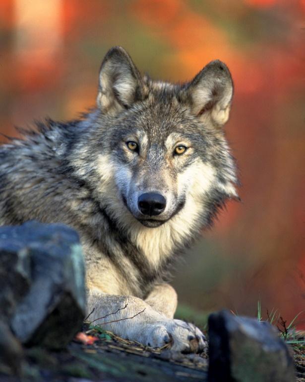 Le loup gris a bien failli disparaître du territoire américain au début du 20e siècle et a vraisemblablement été sauvé par l'Endangered Species Act de 1973 [HO / US FISH & WILDLIFE SERVICE/AFP/Archives]