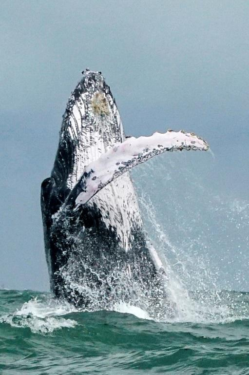 Une baleine à bosse fait un saut hors de l'eau dans le parc naturel national de Uramba Bahia Malaga en Colombie, le 12 août 2018 [Miguel MEDINA / AFP/Archives]