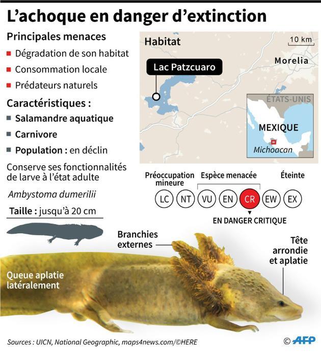 L'achoque en danger d'extinction [Nicolas RAMALLO / AFP]