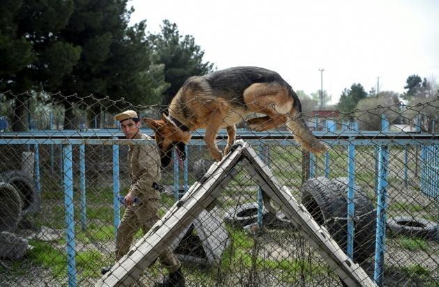 Un chien entraîné à franchir un obstacle le 7 avril 2019 au Centre de détection des mines (MDC) à Kaboul [WAKIL KOHSAR / AFP]
