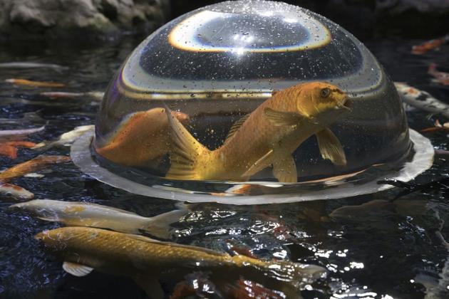Des poissons rouges, sortis de quarantaine, à l'Aquarium de Paris, le 17 août 2018 [JOEL SAGET / AFP]