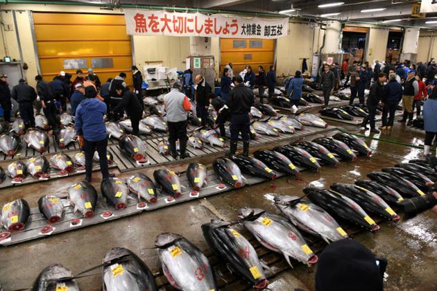 Des poissonniers examinent des thons rouges avant une vente aux enchères au marché de Tsukiji à Tokyo, le 5 janvier 2018 [Kazuhiro NOGI / AFP/Archives]