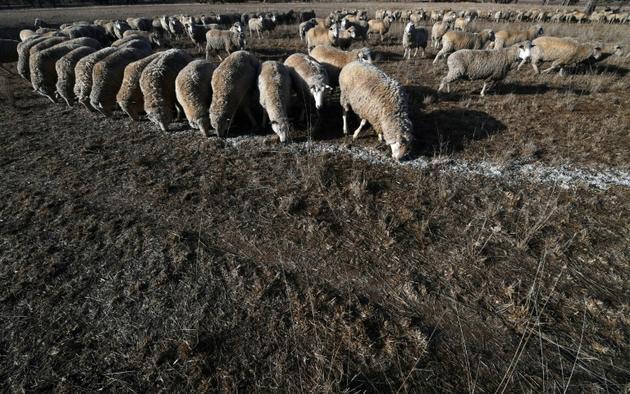 Des moutons mangent des graines de coton car le sol est trop sec pour permettre au gazon de pousser le 7 août 2018 à Duri, en Nouvelle-Galles du Sud, Australie [Saeed KHAN / AFP]