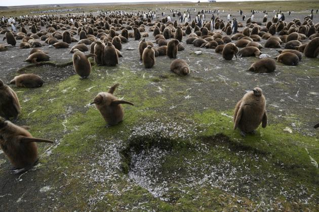 Des pingouins à Volunteer Point, dans l'archipel des Malouines, le 6 octobre  2019 [Pablo PORCIUNCULA BRUNE / AFP/Archives]