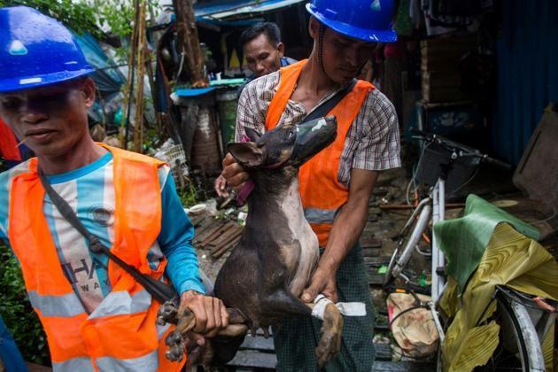 Des employés municipaux ramassent les chiens errants dans les rues de Rangoun pour les envoyer au refuge Thabarwa, le 4 juillet 2019 en Birmanie [Sai Aung MAIN / AFP]
