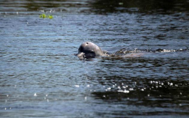 Un dauphin de la rivière de Tucuxi, dans la jungle amazonienne, au Brésil, le 27 juin 2018 [Mauro Pimentel / AFP]