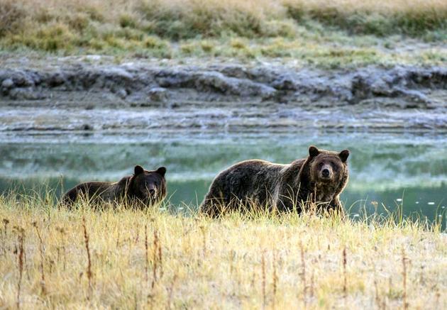 Une femelle grizzly et son ourson, dans le parc national de Yellowstone [KAREN BLEIER / AFP/Archives]