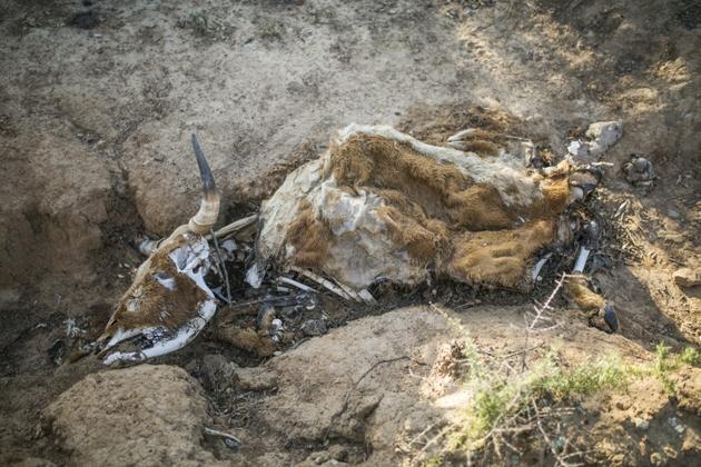 La carcasse d'une vache morte à cause de la sécheresse près d'Adelaide, en Afrique du Sud, le 27 novembre 2019<br />  [Guillem Sartorio / AFP]