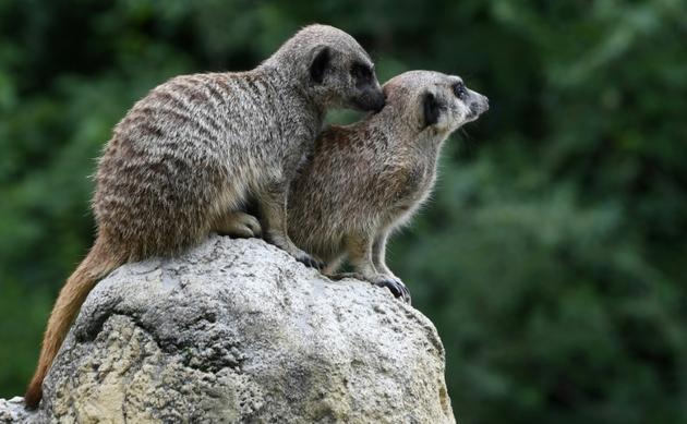Des suricates au zoon Hellabrunn de Munich, le 12 juillet 2019 en Allemagne [Christof STACHE / AFP]