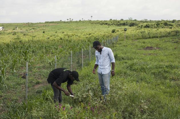 PJ Okocha, cofondateur de PS Nutrac, et l'ingénieur agronome Gbolahan Folarin inspectent un plant d'aubergines, le 5 juin 2018 à Wasinmi, près d'Abeokuta, au Nigeria  [STEFAN HEUNIS / AFP]
