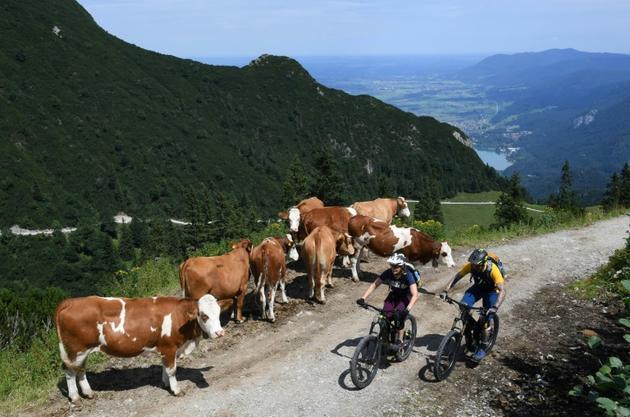 Ursula et Robert Werner passent devant un troupeau de vaches en faisant l'ascension du Herzogstand, le 5 août 2019 en Bavière [Christof STACHE / AFP/Archives]