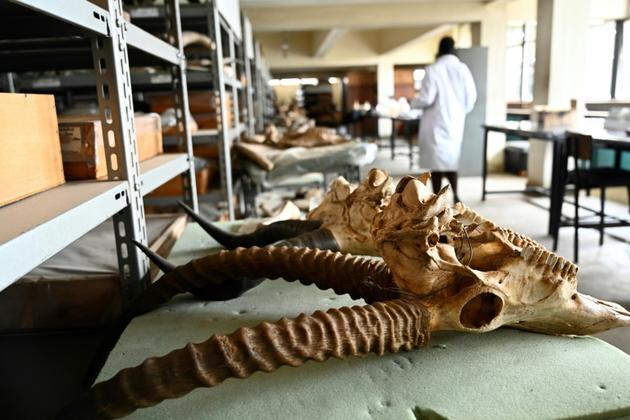 Des fossiles de différentes espèces au musée national de Nairobi, le 23 mai 2019 au Kenya [SIMON MAINA / AFP]