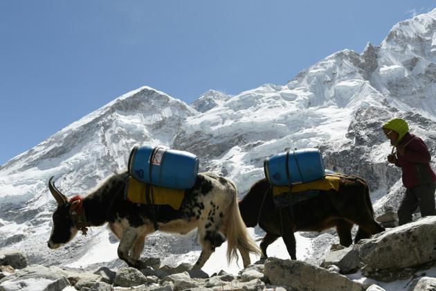 Des yaks acheminent des vivres au camp de base de l'Everest, le 26 avril 2018 au Népal [PRAKASH MATHEMA / AFP]