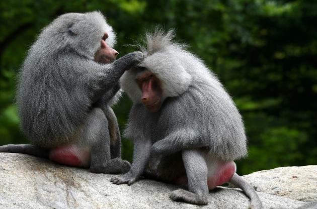 Des babouins au zoo Hellabrunn de Munich, le 12 juillet 2019 en Allemagne [Christof STACHE / AFP]
