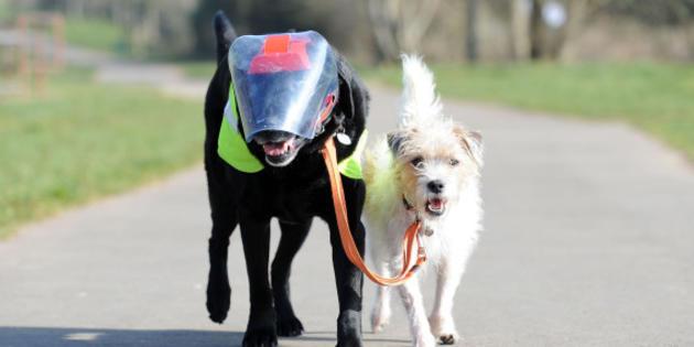 Vidéo : Eddie le chien aveugle, guidé par son ami le chien Milo