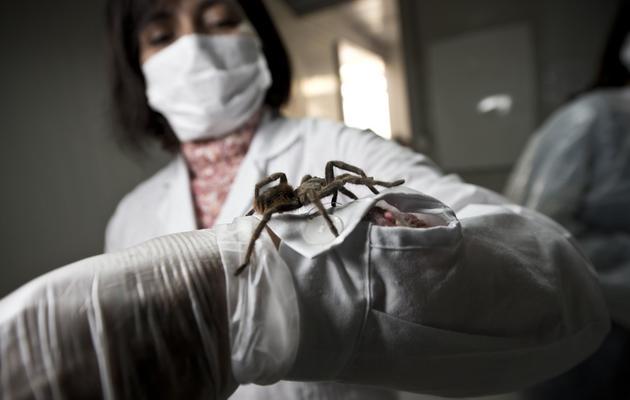 Une employée de la ferme de Batugo présente une mygale, le 22 mai 2013 [Martin Bernetti / AFP]