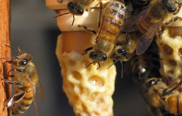 Des abeilles dans une ruche [Franck Aletru / AFP/Archives]