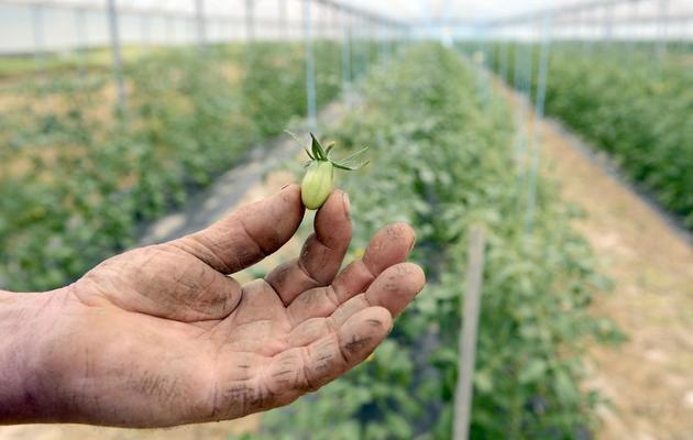 Vincent Béroujon, maraîcher dans le Rhône, montre une tomate cerise qui ne s'est pas développée à cause du mauvais temps, le 29 mai 2013 à Limas près de Lyon [Philippe Desmazes / AFP]