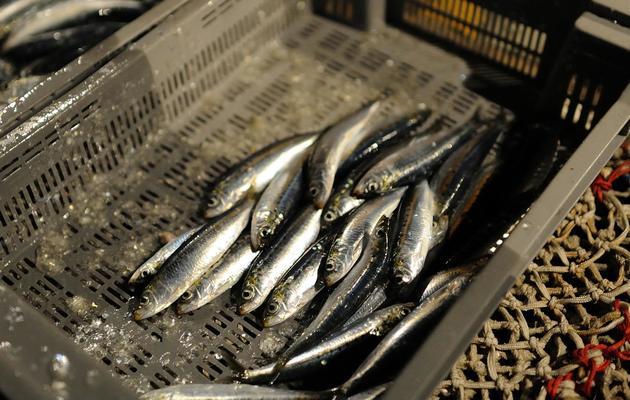 Des sardines sur un bateau de pêche [Jean-Sebastien Evrard / AFP]