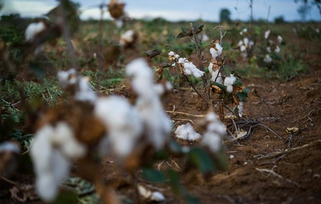 Un champ de coton abandonné à cause de la sécheresse dans l'Etat brésilien de Rio Grande do Norte, le 29 juin 2012 [Yasuyoshi Chiba / AFP/Archives]