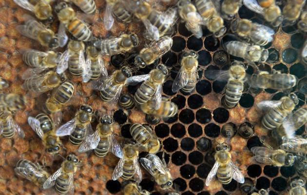 Des abeilles à Bucarest, le 4 avril 2014 [Daniel Mihailescu / AFP]