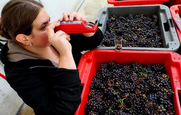 Anne-Lise Koza-Janot mesure le niveau de sucre dans le raisin qui vient d'être cueilli, à Buxeuil le 24 septembre 2013 [François Nascimbeni / AFP]