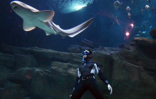 Le spécialiste de l'apnée Pierre Frolla plonge au milieu des requins dans l'Aquarium de Paris, le 11 novembre 2012 [Thomas Samson / AFP]