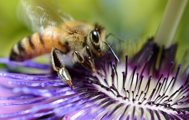 Une abeille butine une fleur, le 24 avril 2012 [Joe Klamar / AFP/Archives]