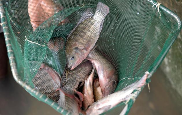 Des tilapias de pisciculture, le 24 mai 2013 au Sénégal [Seyllou / AFP/Archives]