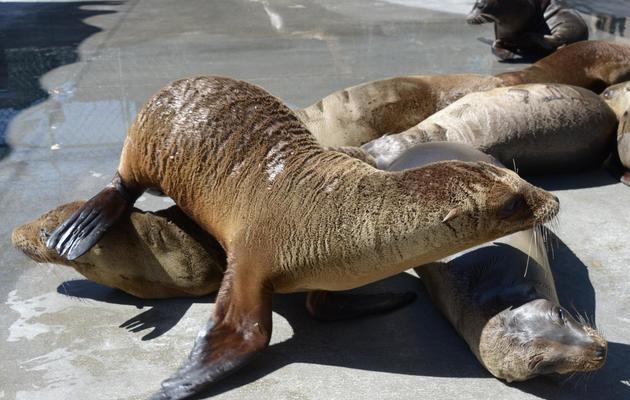 De jeunes otaries dans le centre de soins des mammifères marins de San Pedro, en Californie, le 9 avril 2013 [Joe Klamar / AFP]