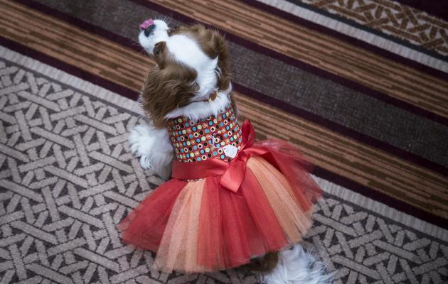 """Un chien présenté au congrès des """"blogs à pattes"""", à Tysons Corner, en Virginie, aux Etats-Unis, le 16 mai 2013 [Brendan Smialowski / AFP]"""