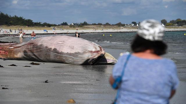 Après un examen interne de l'animal, les équipes du réseau national d'échouage procéderont mercredi à l'équarrissage de la baleine.