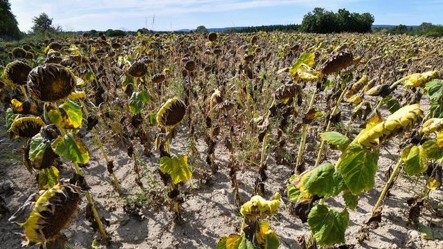 Un champ de tournesols brûlé par le soleil près d'Uzès, dans le Gard, qui fait partie des 85 départements concernés par des mesures de restriction d'eau.