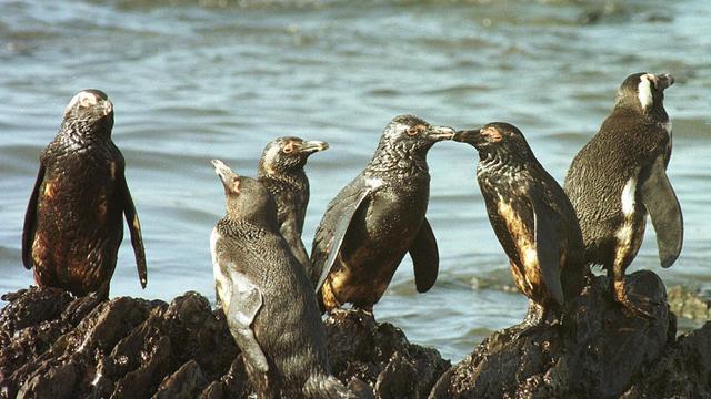 Les services de secours sud-africains ont entrepris dimanche le sauvetage de cinq pingouins mazoutés sur Robben Island, île célèbre pour le pénitencier qui abrita notamment Nelson Mandela, au large du Cap, du fioul de soute s'étant échappé d'une épave brisée par la tempête.[AFP]