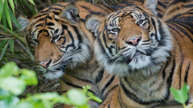 Deux tigres de Sumatra hébergés dans un zoo à Francfort, en Allemagne, en juin 2012 [Boris Roessler / AFP/Archives]
