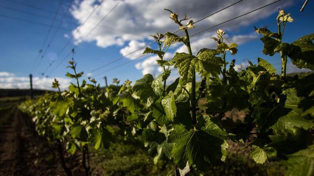 Des vignes près de Modra, dans l'ouest de la Slovaquie, le 14 mai 2013 [ / AFP]